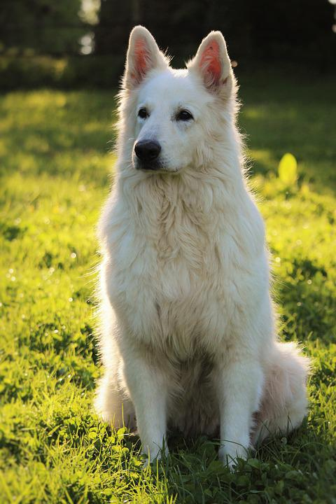 Swiss White Shepherd, Animals, Animal, Dog, White