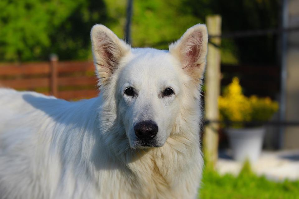 Swiss White Shepherd, Animals, Animal, Dog, White