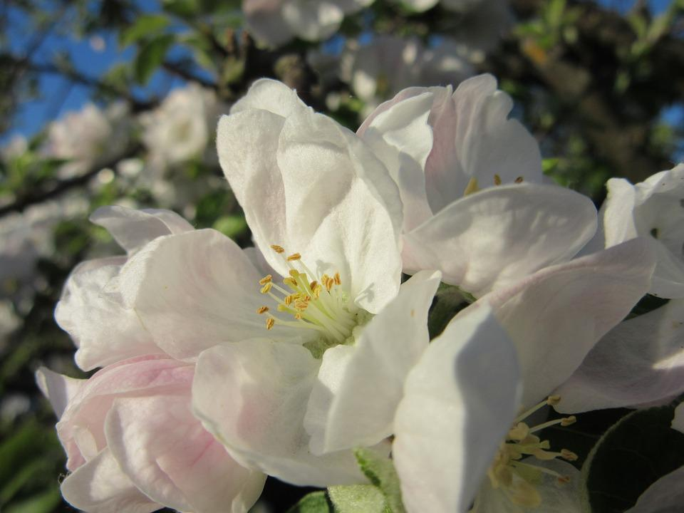 Apple Blossom, Blossom, Bloom, White, Bloom, Petals