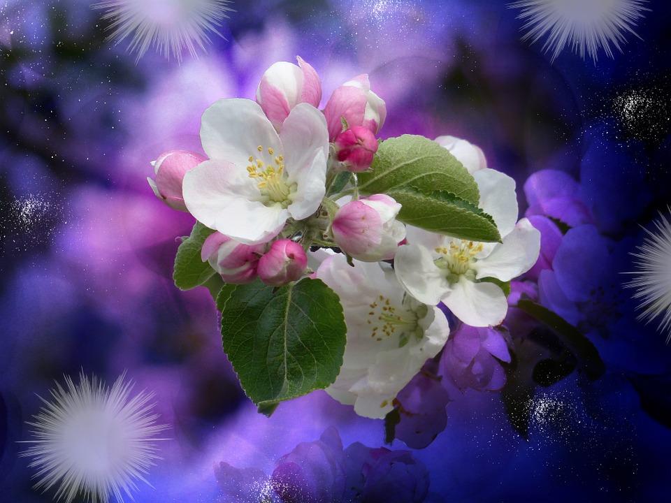 Apple Tree Blossom, Blossom, Bloom, White, Flowers