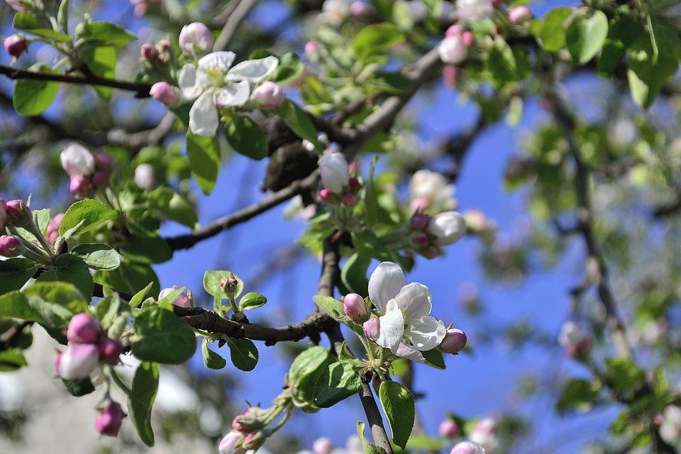 Ukraine, Apple Tree, Flower, Bloom, Garden, Tree, White