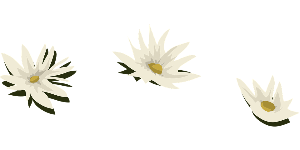 Water Lily, White, Flowers, Lilies, Aquatic, Plants