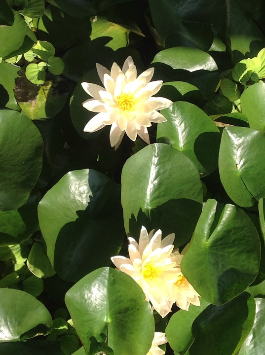 Water, Lily, Flower, White, Aquatic Plant, Pond