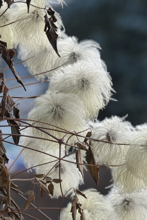 Clematis, Viticella, Flourished From, Autumn, White