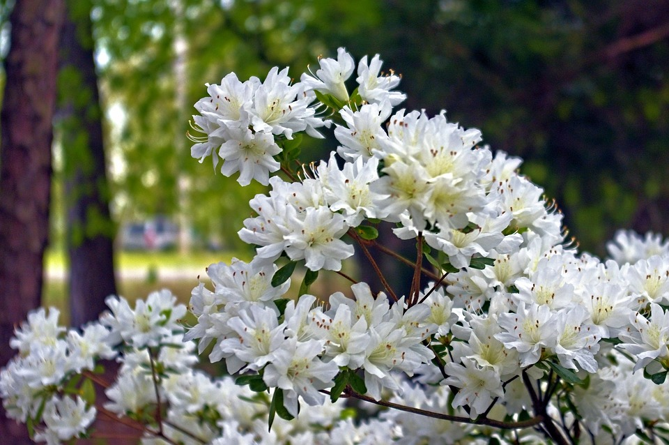 White Azaleas In Arkansas Ozarks, Blossoms, Azalea