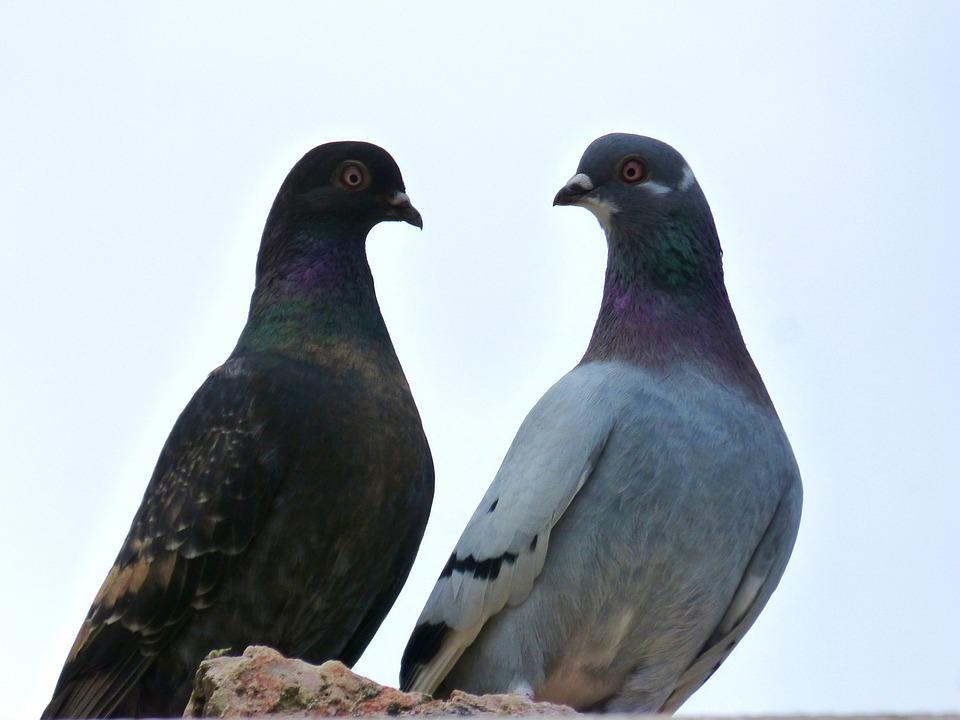 Pigeons, Couple, White Background, Birds, Fauna