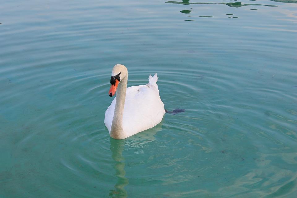 Swan, Beautiful, Bird, Graceful, Lake, Water, White