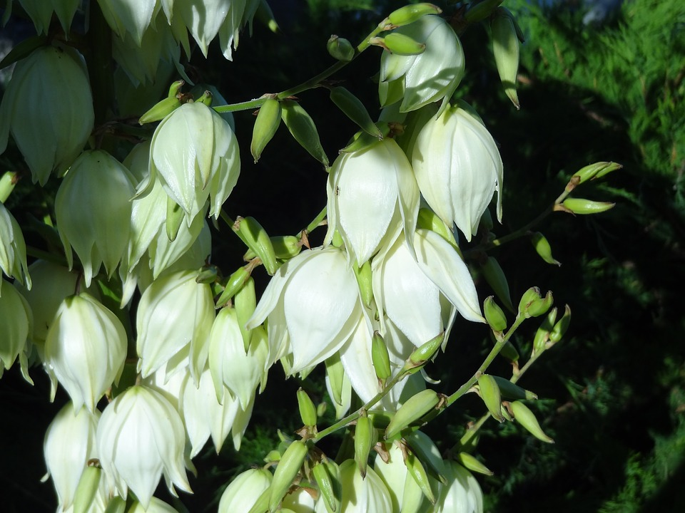 Free photo White Bells Flowers Nature Flowering Summer - Max Pixel