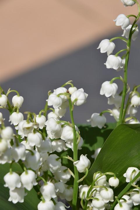 Free photo white bells plant thrush leaf flower nature max pixel flower plant nature leaf thrush white bells mightylinksfo