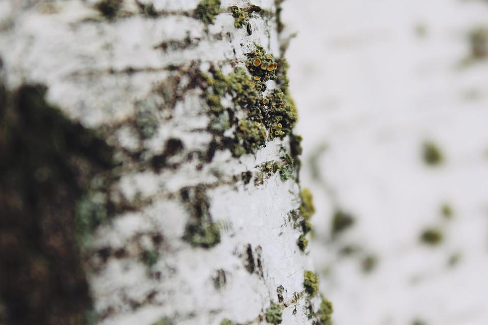 Nature, Close, White, Garden, Birch, Tree, Background