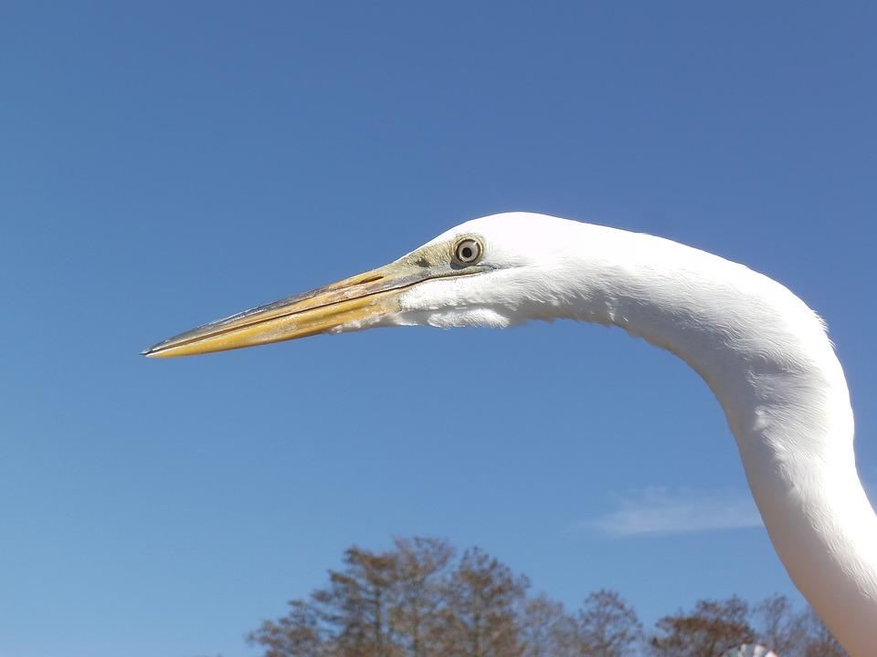 Egret, White Bird, Water Bird, Bird, Bird Head, Beak