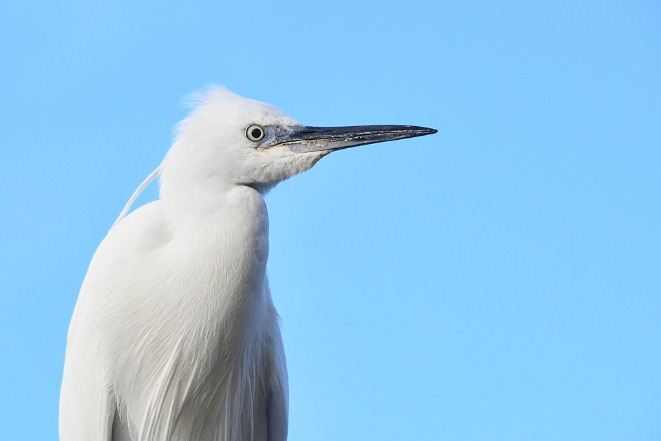 Little Egret, Bird, Profile, White Bird, Feathers