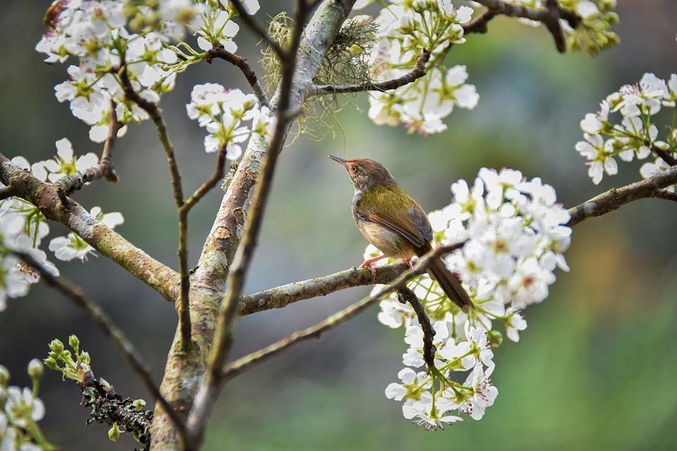 Pear, Bird, Flower, Spring, White, Bloom, Forest
