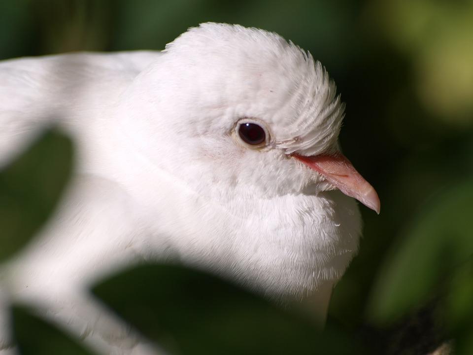 Dove, White Dove, White, Bill, Bird, Close