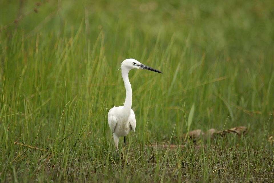 Bird, Little Egret, Watching, Wildlife, Grass, White