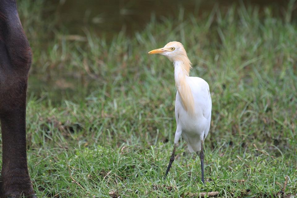 Cattle Egret, White, Bird, Egret, Ibis, Nature