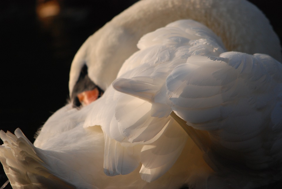 Swan, Bird, Feathers, Wing, White, Shine