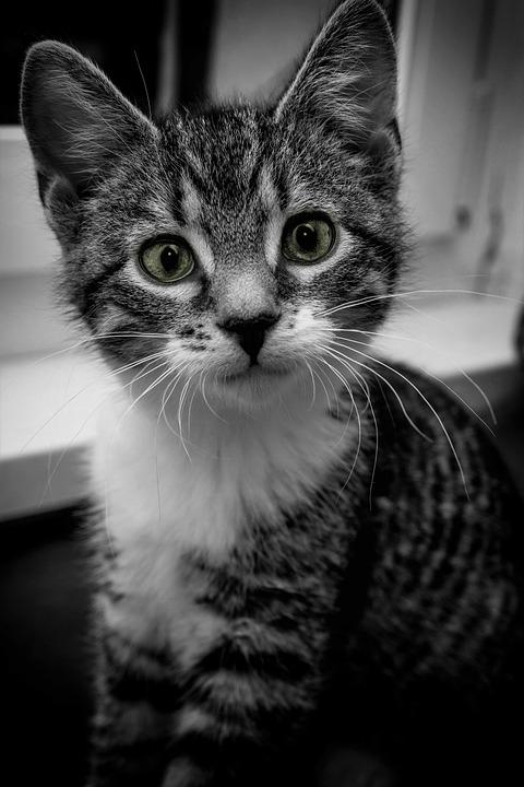 Cat, Close Up, Black, White, House, Domestic Cat