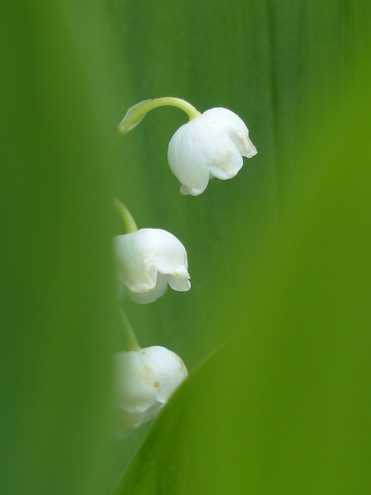 Lily Of The Valley, Blossom, Bloom, White, Flower