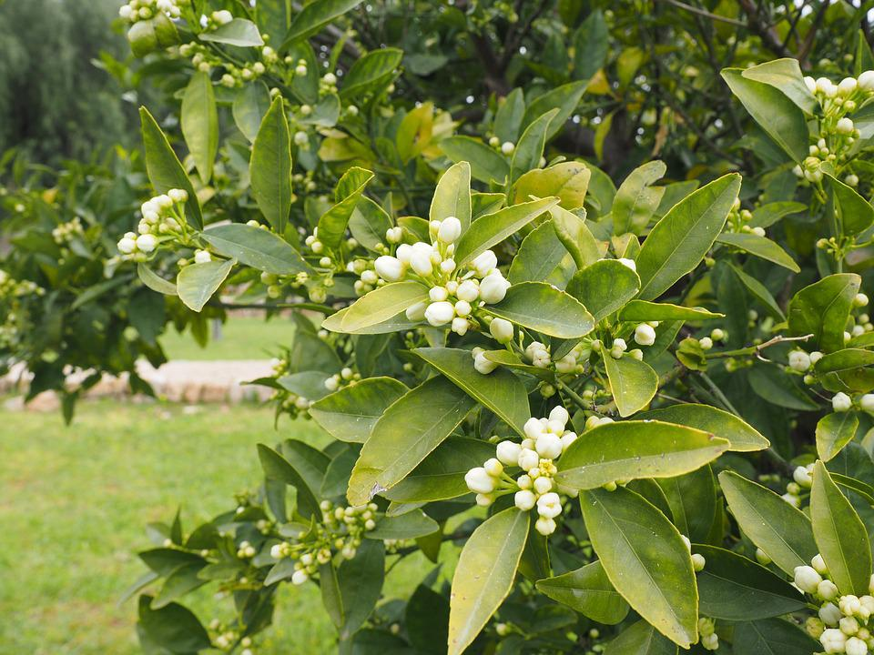 Orange Tree, Flowers, Orange Blossom, Bloom, White