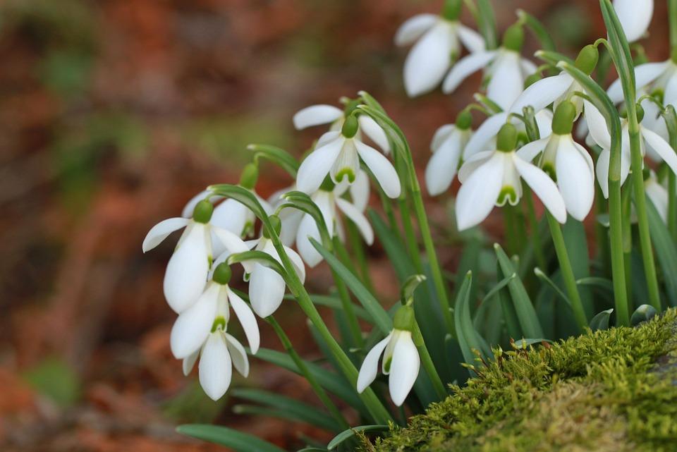 Snowdrop, Spring, Spring Flower, Flower, White, Bloom