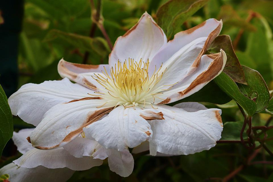 Clematis, White, Wither, Blossom, Bloom, Close Up