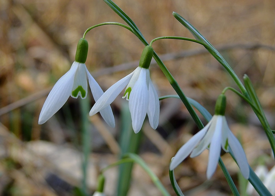 Snowdrops, Early Spring, Nature, White, Blooming