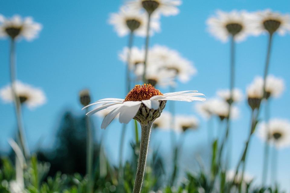 Margarite, Blossom, Bloom, White, Art, Bloom, Spring