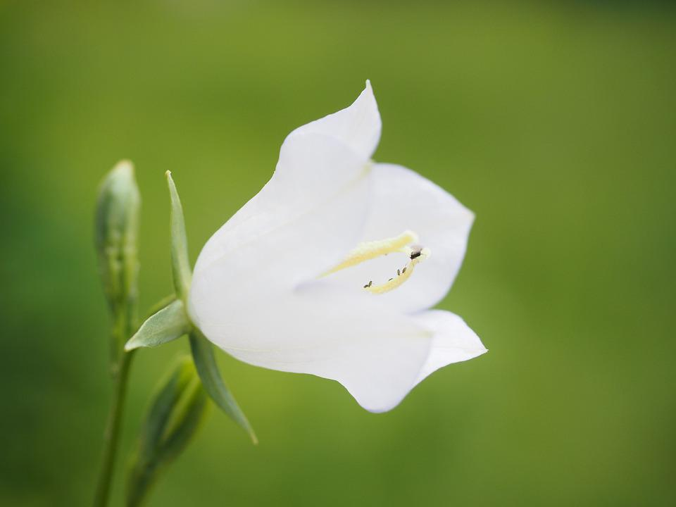 Balloon Flower, Blossom, Bloom, White, Flower
