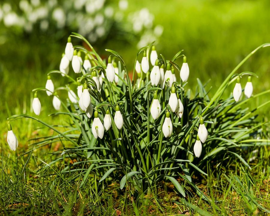 Snowdrop, Galanthus, Flowers, Blossom, Bloom, White
