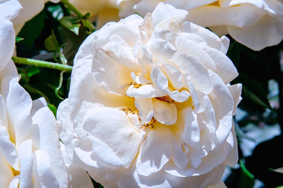 Free photo white blossom spring bloom flower summer plant max pixel flower white bloom plant blossom spring summer mightylinksfo