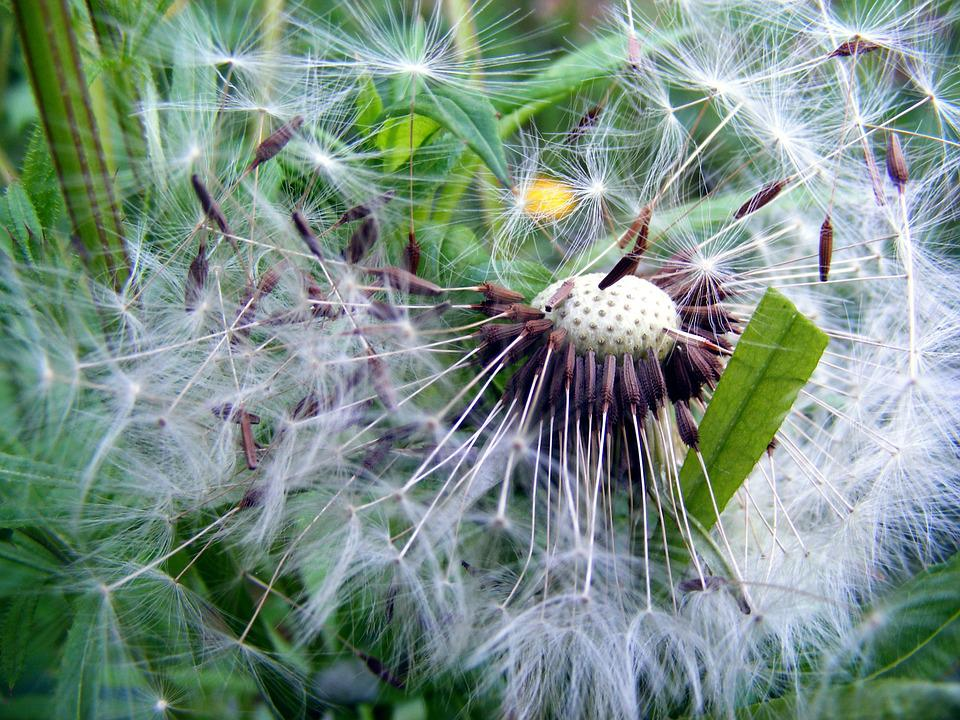 Free Photo White Blowing Seeds Nature Dandelion Summer Wind Max Pixel