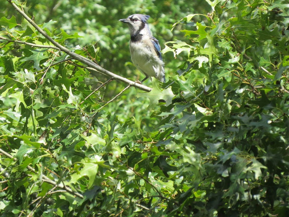 Bird, Blue, White, Blue Jay, Wildlife, Tree
