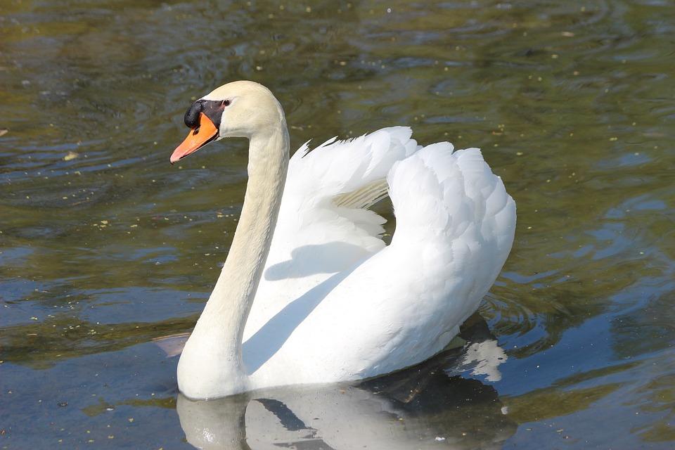 Swan, White, Feather, Bonn, Waters, Water, Water Bird