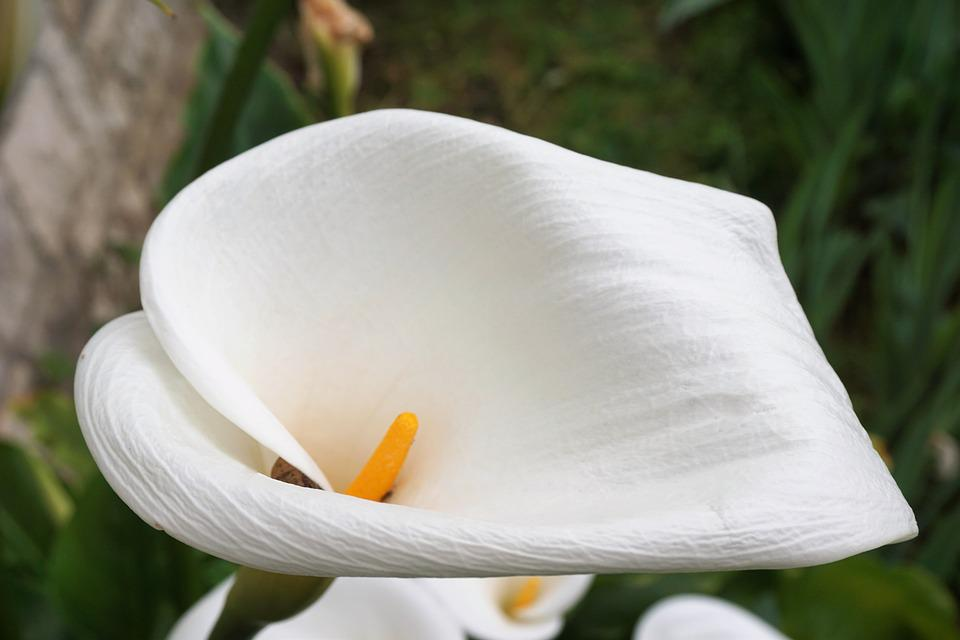 Flower, Arum, Flora, Flowering, White, Plant, Botany