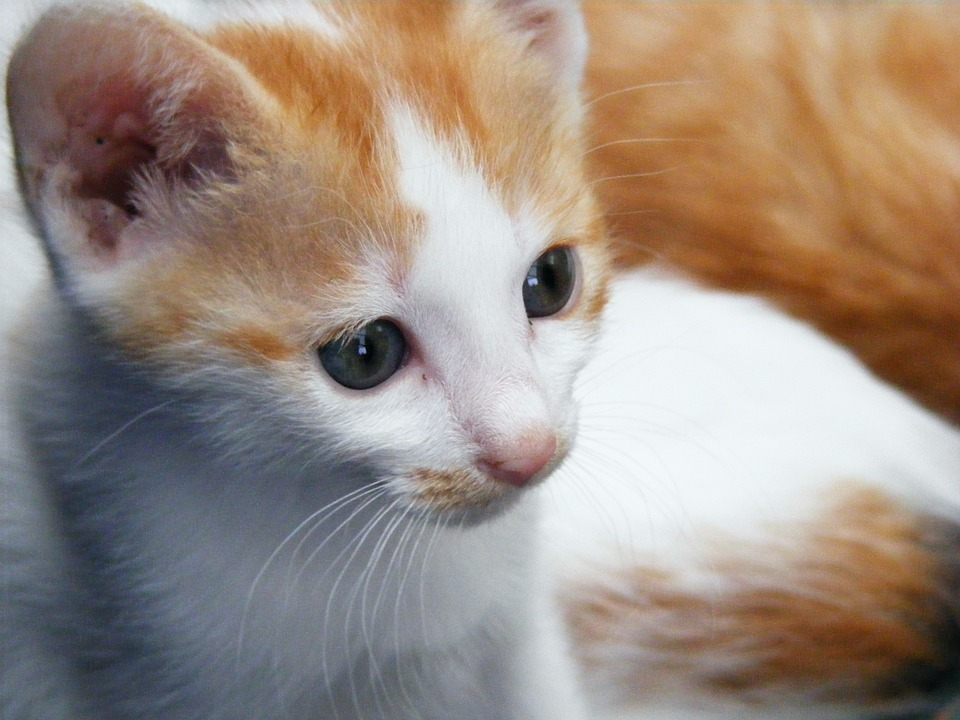 Cats, Kitten, Animals, Mammals, Cute, Brown, White