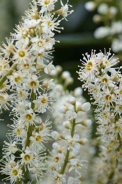 Inflorescence, Flower, Flowers, Bush, Close, White