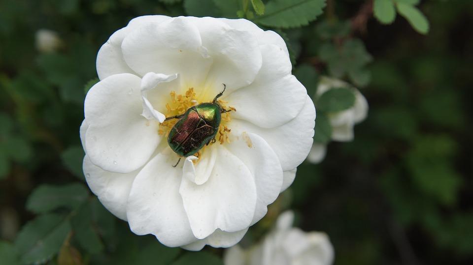 Wild Rose, Bush Rose, Blossom, Bloom, Flower, White