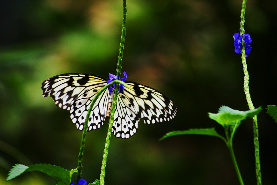 Chessboard Butterfly, Butterfly, White, Spotted, Nature