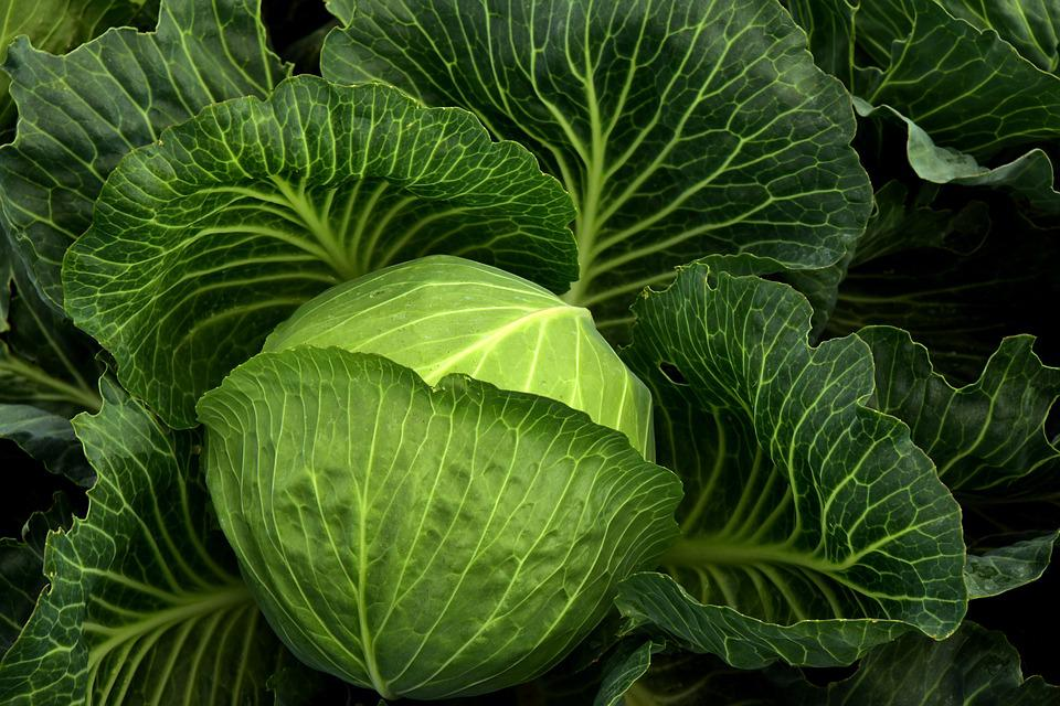 Kohl, Herb, White Cabbage, Cultivation, Vegetables
