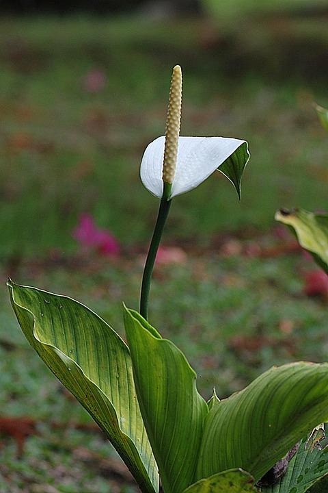 Flower, White Calla, Floral, Plant, Natural, Blossom