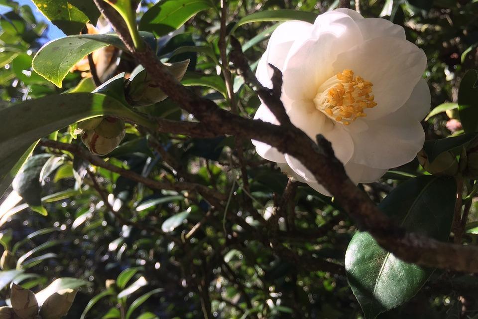 Camellia, Flower, White, Plant