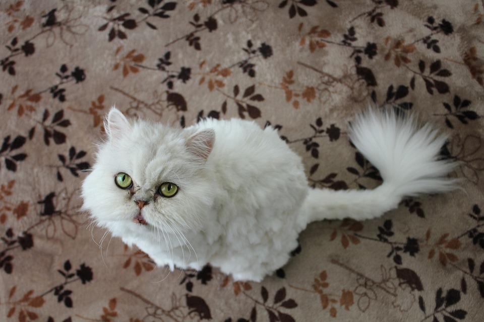 Cat, Persian Cat, White Cat