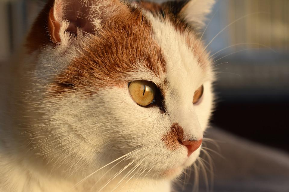 Cat, White, Animal, Creature, Pet, White Cat, Mieze