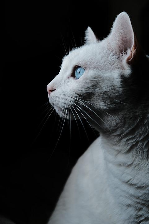 Pet, Cat, Portrait, Profile, White Cat, Kitty, Feline