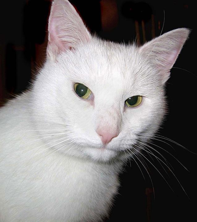 Cat, White, Feline, Moggy, Pet, Domestic