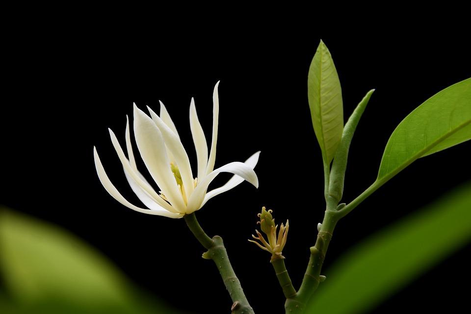 Orchid, White Champaca, White Flower, White Sandalwood