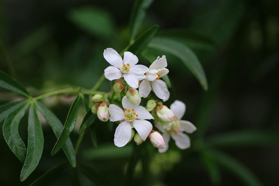 Orange Mexico, Choisya, Shrub, Flower, White, Garden
