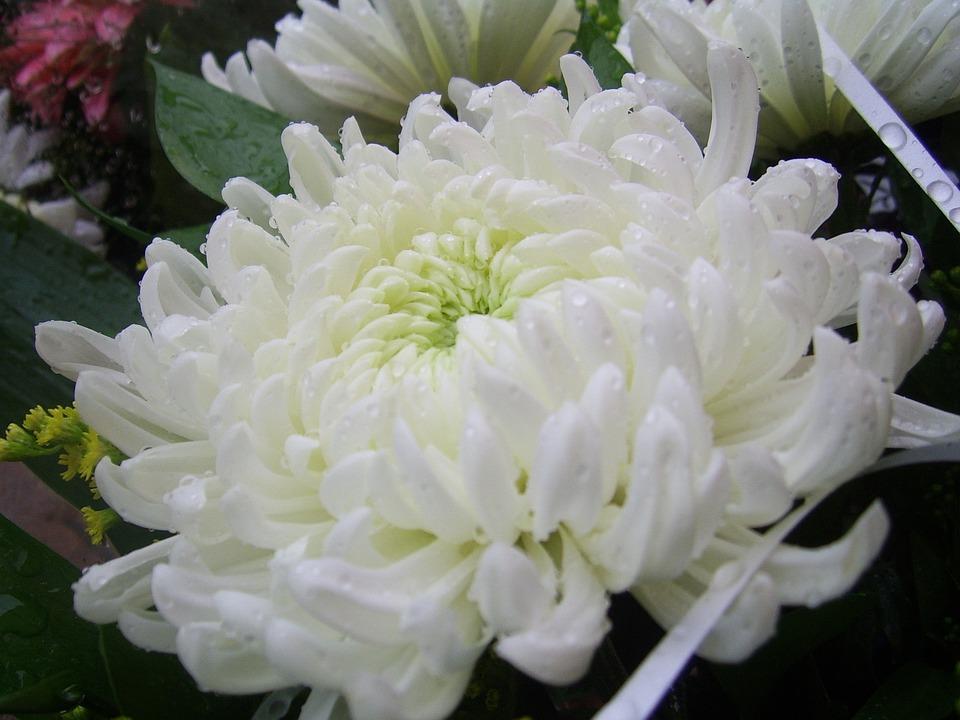 Free photo white chrysanthemum pure flower nature floral max pixel chrysanthemum flower white pure nature floral mightylinksfo