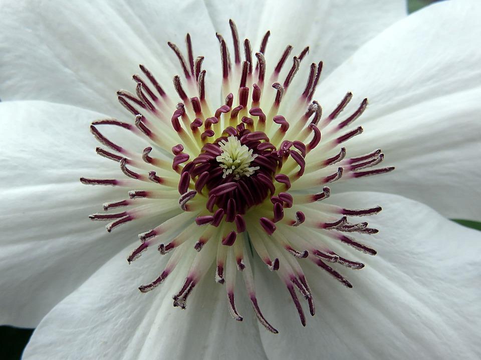 Free photo white clematis stamens spring flower max pixel flower clematis stamens white spring mightylinksfo